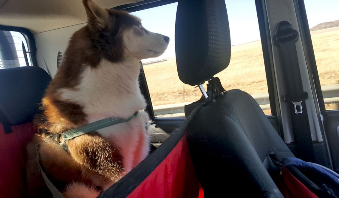 Jaxx the Siberian Husky on a road trip